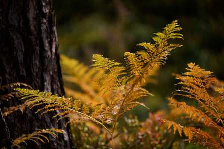 burning red fern leaves on dark background with foliage in dry sunny autumn. forests of Latvia Stock Photo
