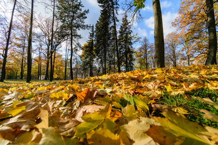 latvia: autumn gold colored tree leaves in the park. sunny fall day with sun rays and shadows Stock Photo