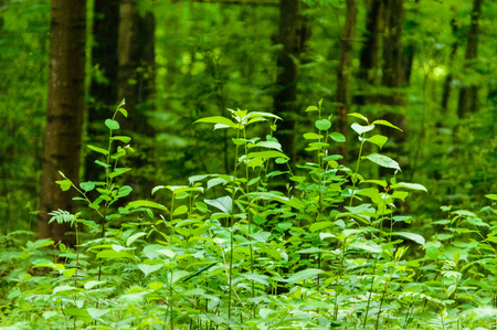 spring leaves lush with blur background. natural environmental detail view in latvia Stock Photo