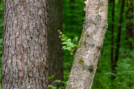 lonely tree trunks in forest in summer. natural environmental detail view in latvia