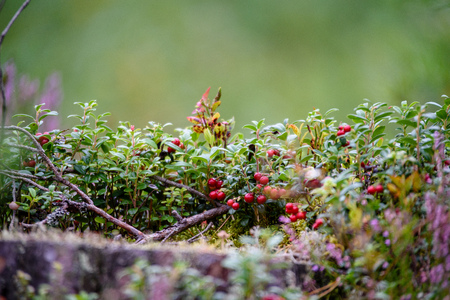 Ripe red lingonberry, partridgeberry, or cowberry grows in pine forest with white moss background