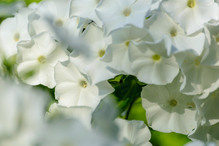 flowers in close up in summer. nature in latvia