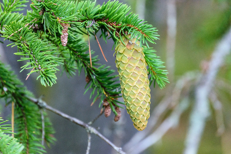 spruce tree cones in forest. nature in latvia Stock Photo