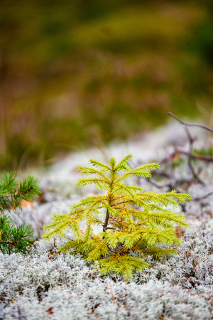 young spruce tree on the moss. nature in latvia