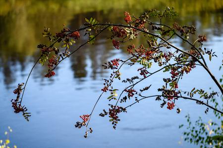rowan tree berries against dark background in warm day. countryside