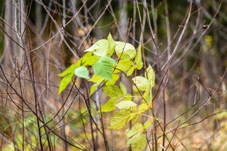 birch tree leaves and branches against dark background in warm day. countryside