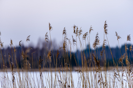 Reed vs. Sunset. Selective focus. Shallow depth of field. Beautiful sunset over the lake among the reeds