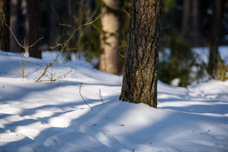 winter rural scene with snow and tree trunks in cold weather. sunny day in forest