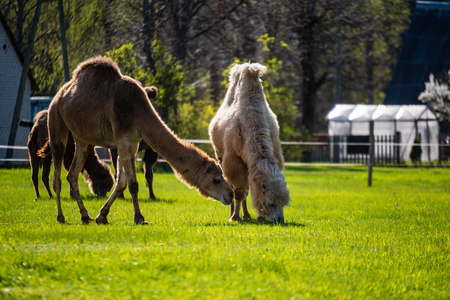 camel walking and feeding in a green field of grass in early summer in Latvia