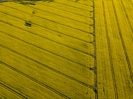 drone image. aerial view of rural area with cultivated fields of rape seed in sunny spring day. latvia