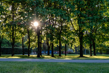 birch tree leaves and branches against dark background with sun rays in sunrise. park scene for recreation and peace