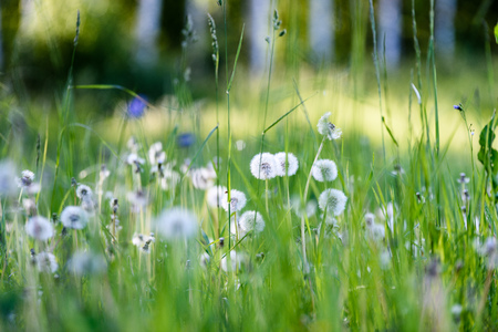 sunny meadow with dandellions and daisies in summer at countryside Banco de Imagens