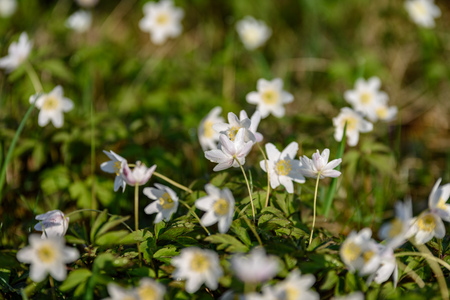 large field of white anemone flowers in spring. a plant of the buttercup family, typically bearing brightly colored flowers. Anemones are widely distributed in the wild, and several kinds are popular garden plants.