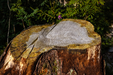 dry wood. tree trunk stomp textured pattern abstract texture of fallen broken tree with age lines. wooden art in natural environment