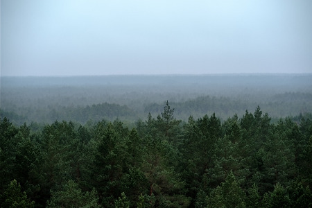 panoramic view of misty pine tree forest in autumn. fog seperates forest in many layers of visibility. far horizon in evergreen woodland
