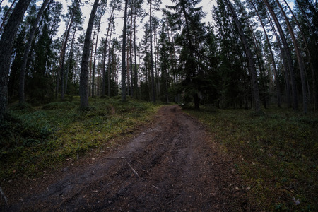 dirt road in clean pine tree forest with mud and green foliage around. dark colors 版權商用圖片