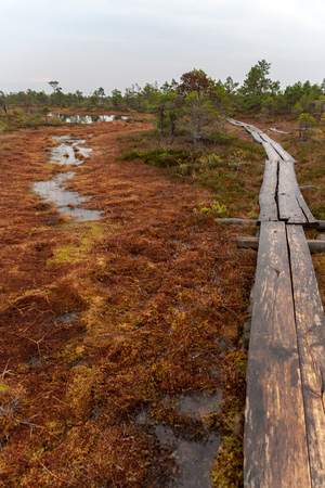 old wooden plank boardwalk trail in swamp area near water in autumn colored nature