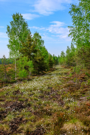 swamp area landscape view with lonely pine trees and turf fields in green summer foliage surroundings