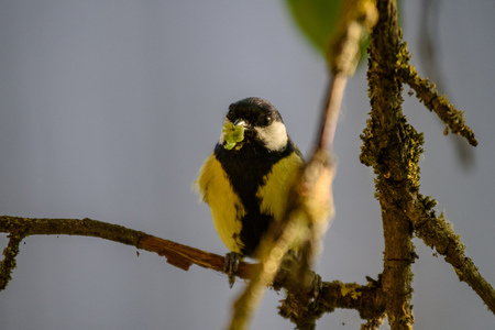 small tomtit bird with worm in the beak in summer