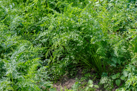 deep green foliage in summer light for backgrounds or textures neutral texture