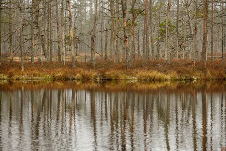 swamp landscape view with dry pine trees, reflections in water and first snow on green grass. dull evening lightning