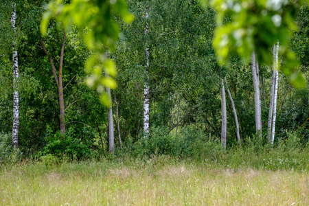 beautiful birch tree trunks, branches and leaves in natural environment. mixed season summer autumn spring images