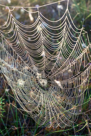 beautiful spider cob webs in swamp in late autumn with morning dev drops in misty forest
