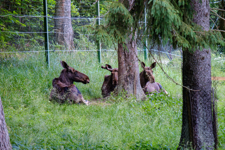 wild muse family resting in grass meadow in summer in captivity natural park
