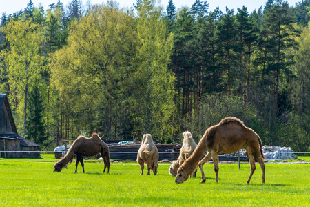 wild camel in pasture and green meadow in summer feeding time Imagens