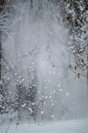 snow falling from trees in winter overcast day in forest 免版税图像