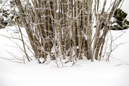 snow covered trees in winter forest. overcast day with loads of snow 免版税图像