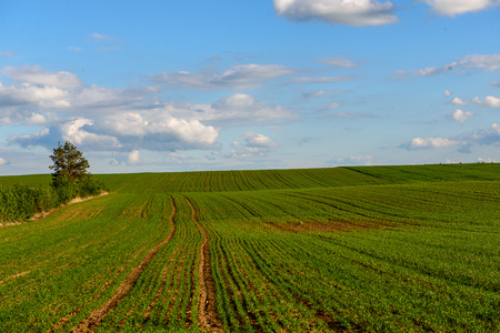 green cultivated fields in countryside with straight lines. agriculture under clear sky Banco de Imagens