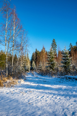 sunny day in forest in snowy winter time with blue sky and white snowflakes