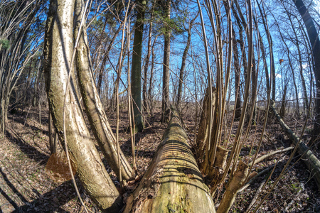 fisheye lens distorted view of forest in sunny spring day with naked trees and blue sky Stock Photo