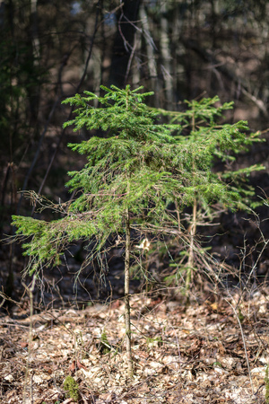 young spruce tree in spring day on blur background. sunny