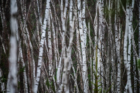 dark forest with tree trunks in even light. green forest bed Stock Photo