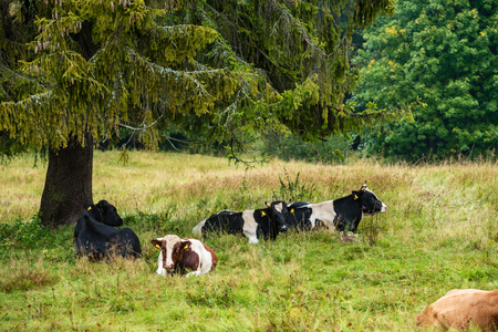 domestic cow in green pasture. cattle in meadow