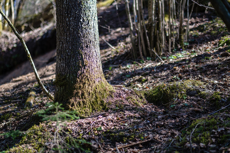 large naked tree trunks in spring park with no leaves in sunny day Stock Photo