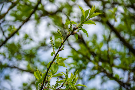 first leaves on tree branches in spring, blooming