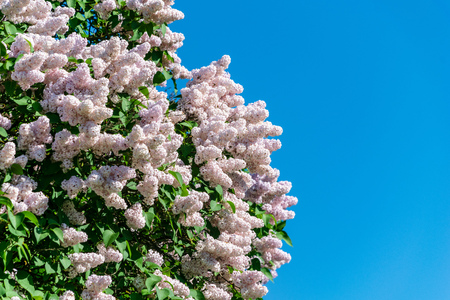 lilac bushes blooming in spring in green meadow