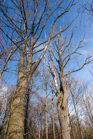 large naked tree trunks in spring park with no leaves in sunny day 写真素材