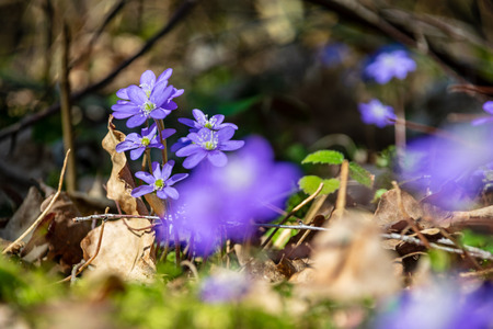 first blue flowers blooming in spring forest on empty ground with old leaves