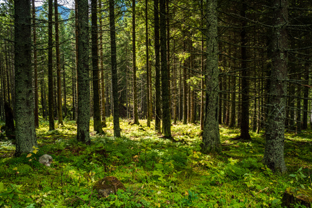 dark forest with tree trunks in even light. green forest bed 写真素材