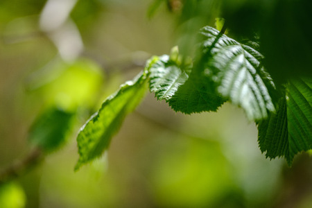 young fresh green birch tree leaves in spring on sunny day blur background texture
