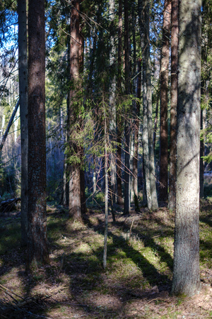 dark forest with tree trunks casting shadows on the ground. summer green foliage Stock fotó