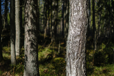 dark forest with tree trunks casting shadows on the ground. summer green foliage Stock Photo