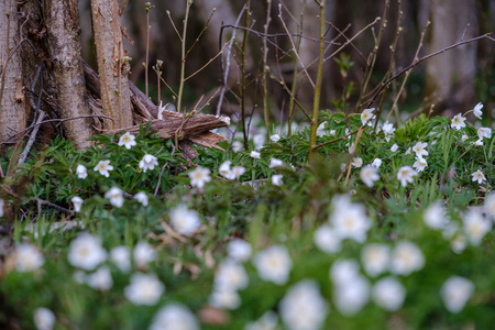 large field of snowdrops flowers in spring green meadow in forest. Galanthus nivalis