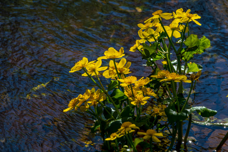yellow spring flowers blooming on the shore of river forest background Stockfoto