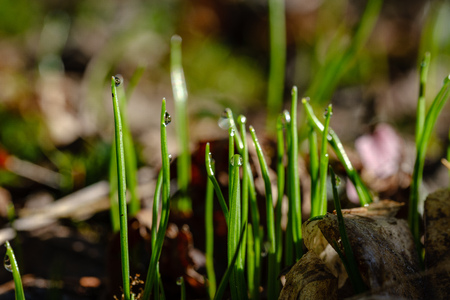 first fresh green grass sprouts in spring making their way out of soil 版權商用圖片