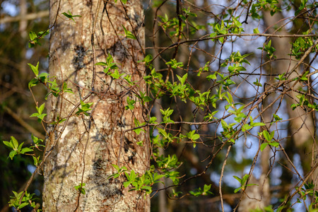 birch and aspen tree grow in spring with first leaves hatching, naked ground Stok Fotoğraf
